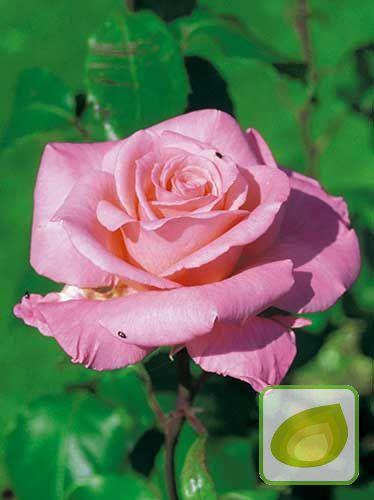 1ba5cca7fca756 Róża Rabatowa (Rosa) 'Sylvia' | Róże (Rosa) \ Róże Rabatowe | Cebule ...
